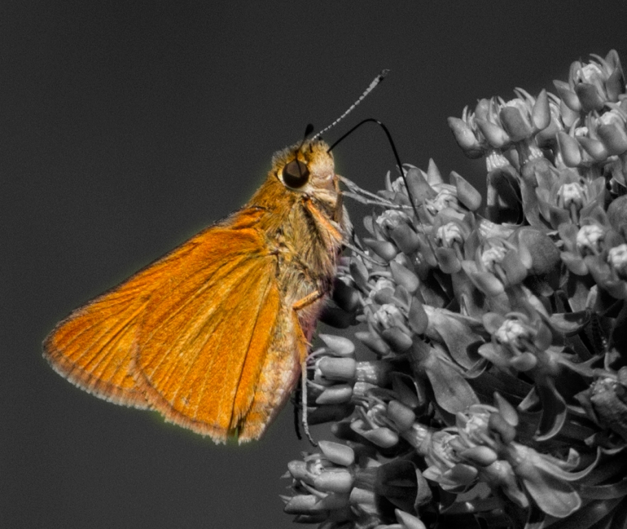 edited color skipper