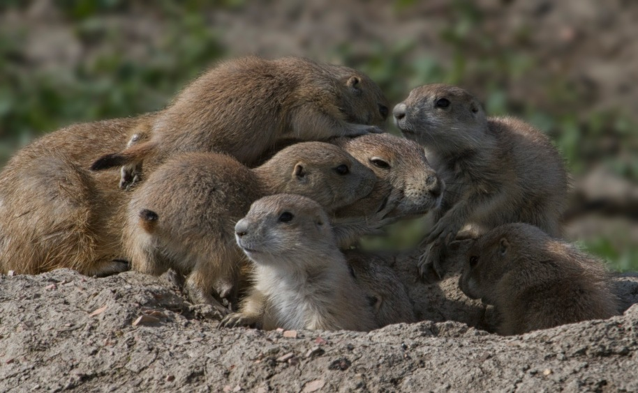 prairie dog home