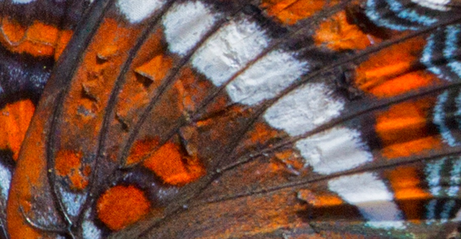 red admiral wing detail