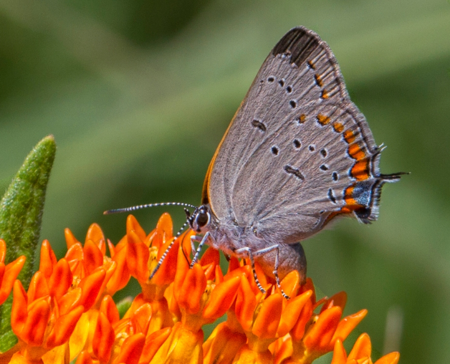 tailed blue2