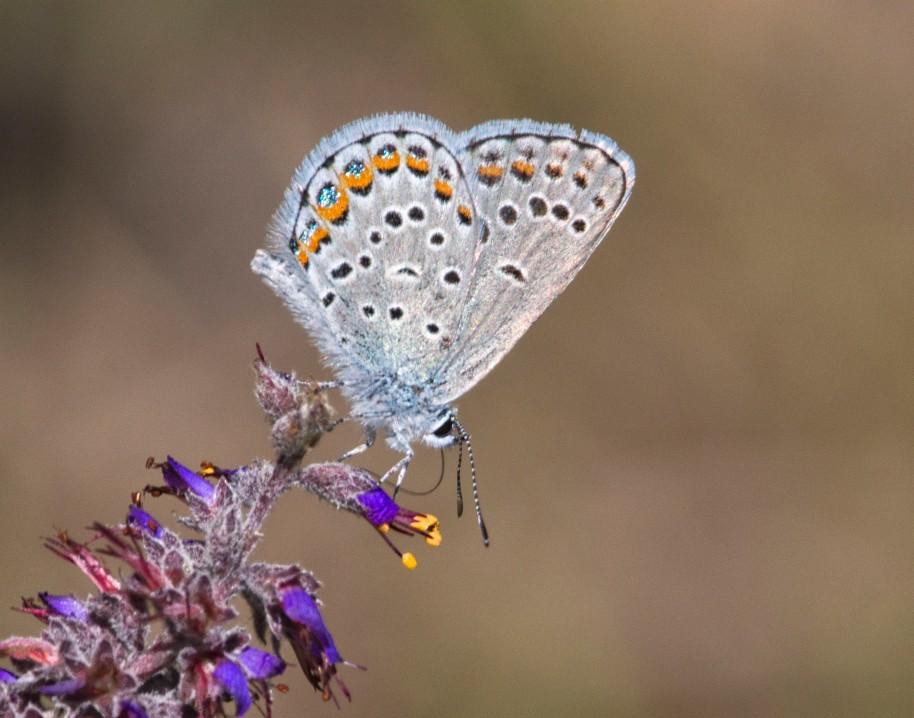 blue karner