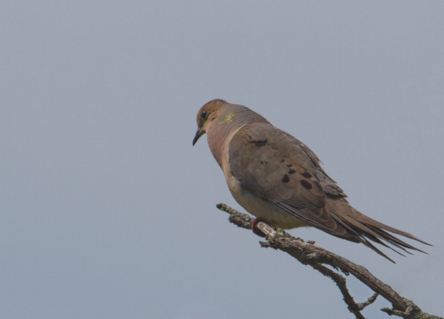 morning dove calling