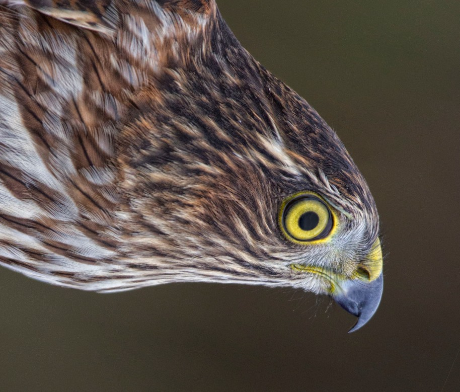sharpshinned hawk hy