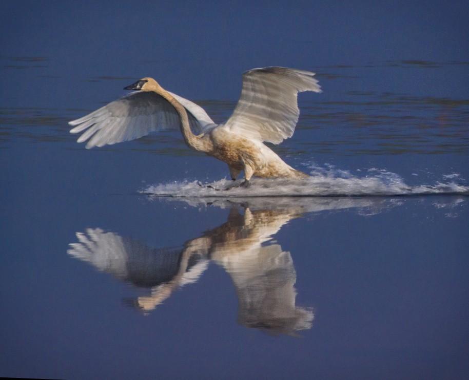 swan skid
