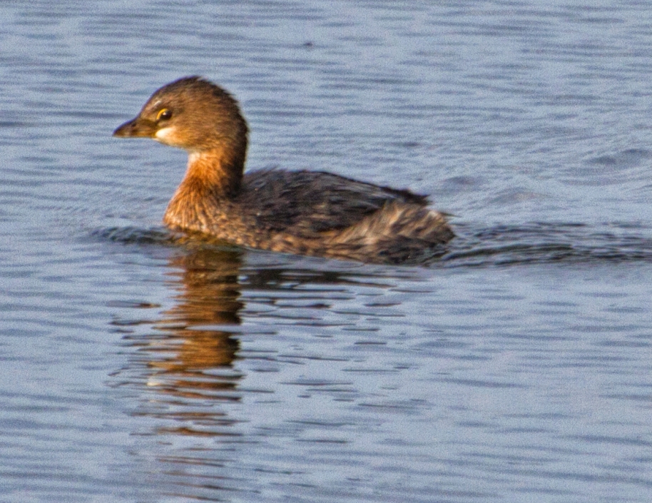 young grebe