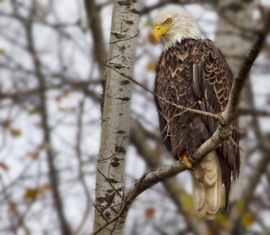 eagle mature