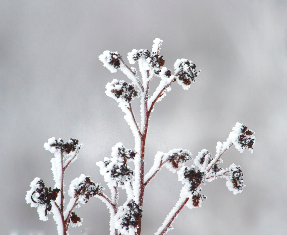 frosty weed