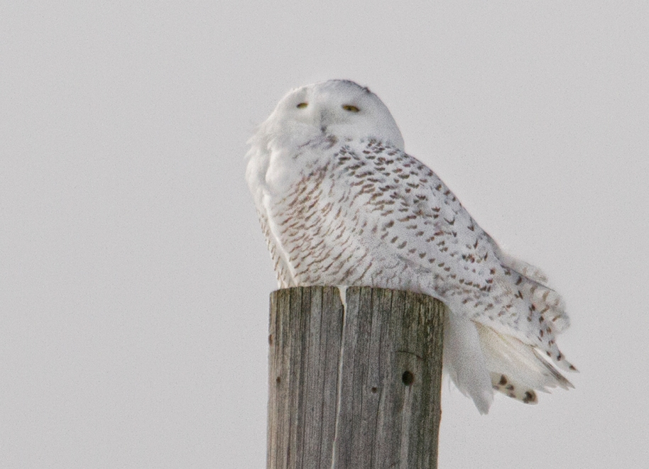 snowy perched