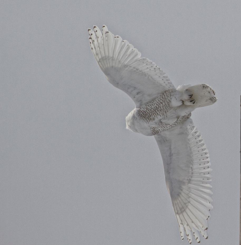 flying snowy
