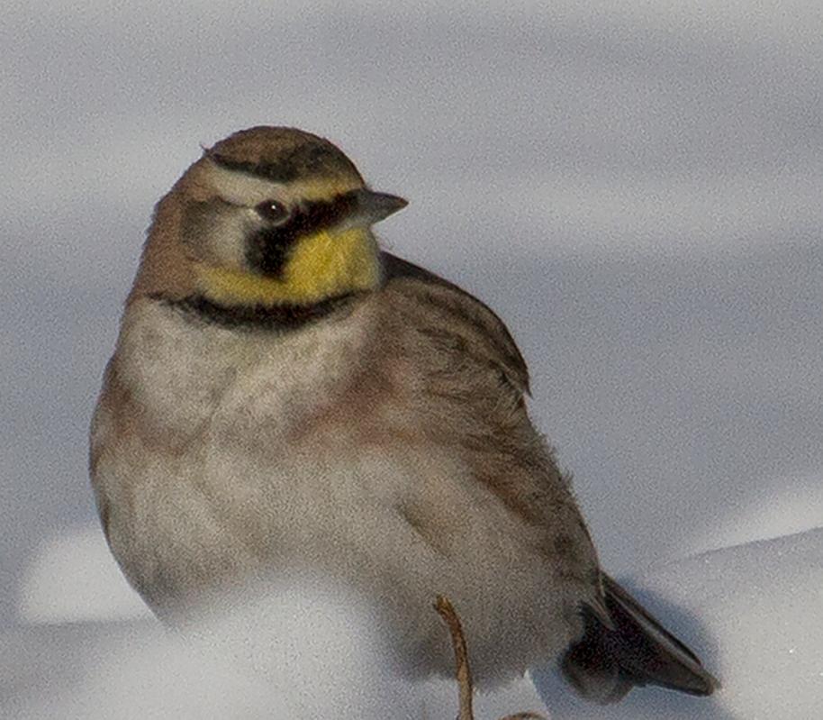 horned lark