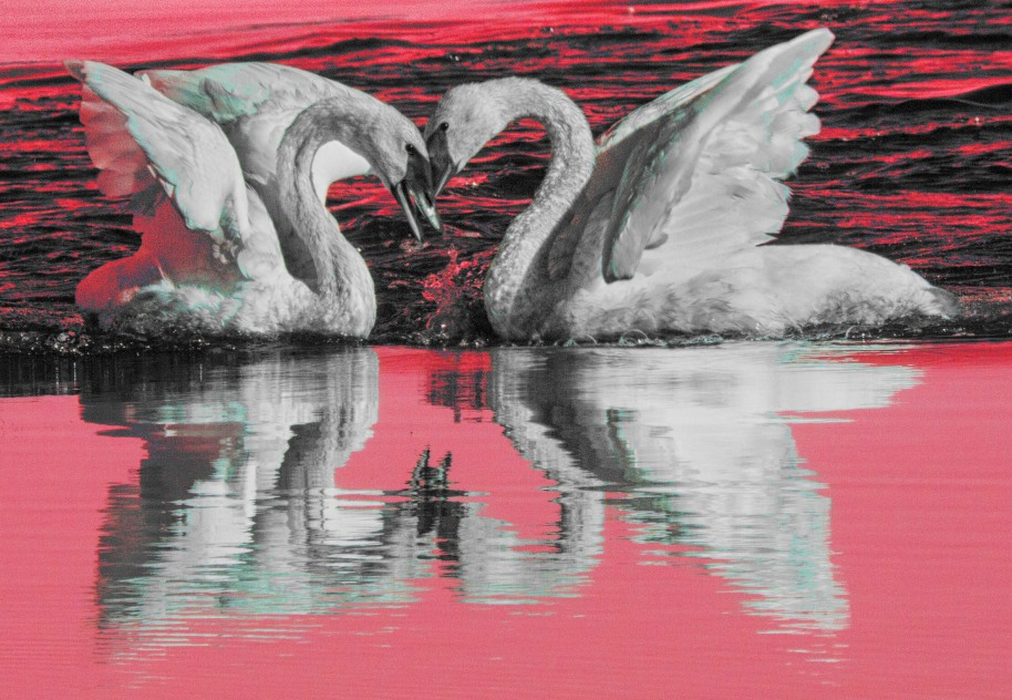swans red