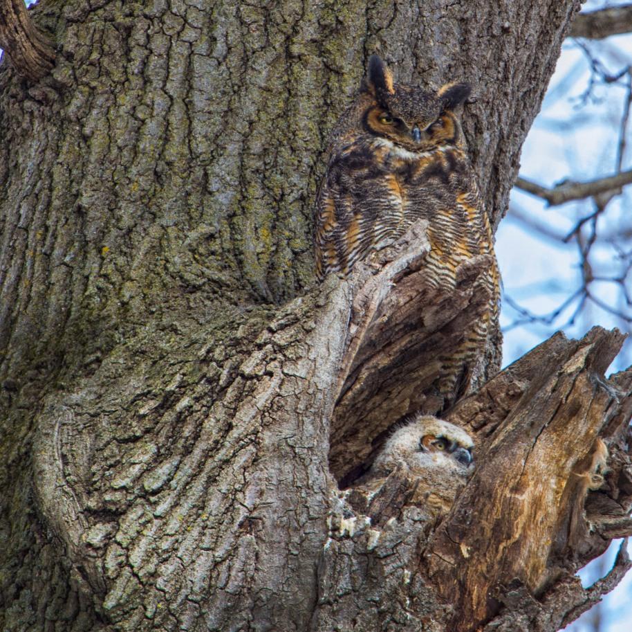 horned owl 3