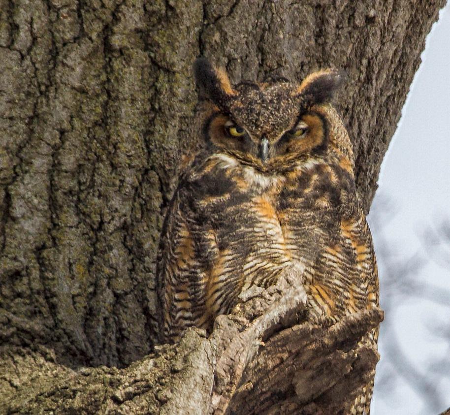 mama hoot owl