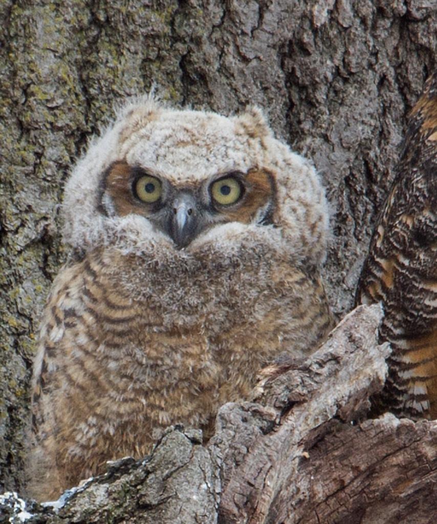 owlet horned owl