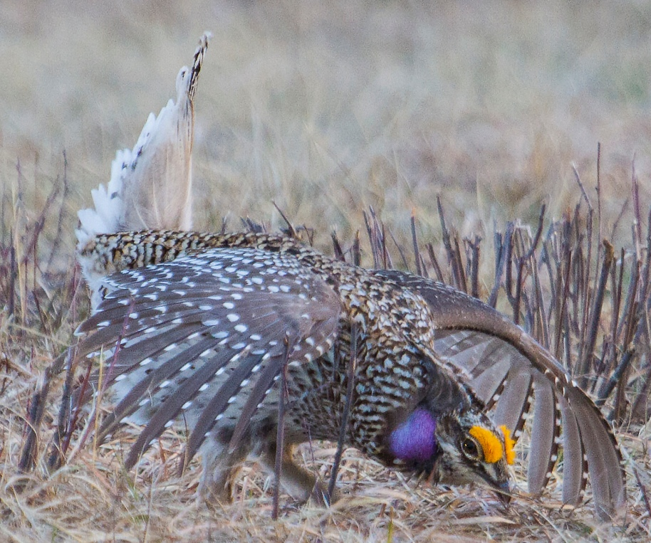 sharptail dance