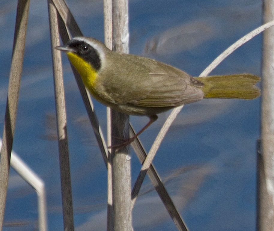 yellow throat redo