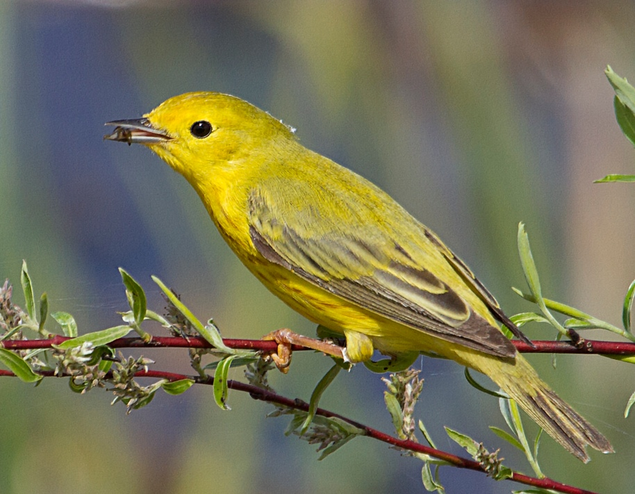 yellow warbler lunch