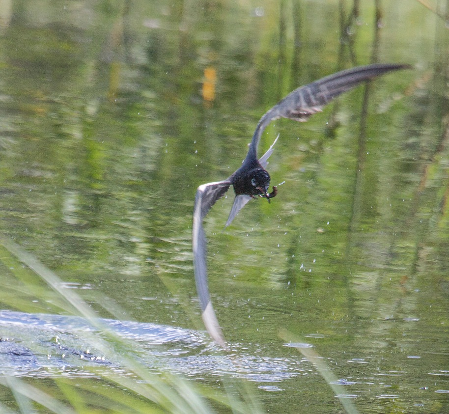 black tern caught