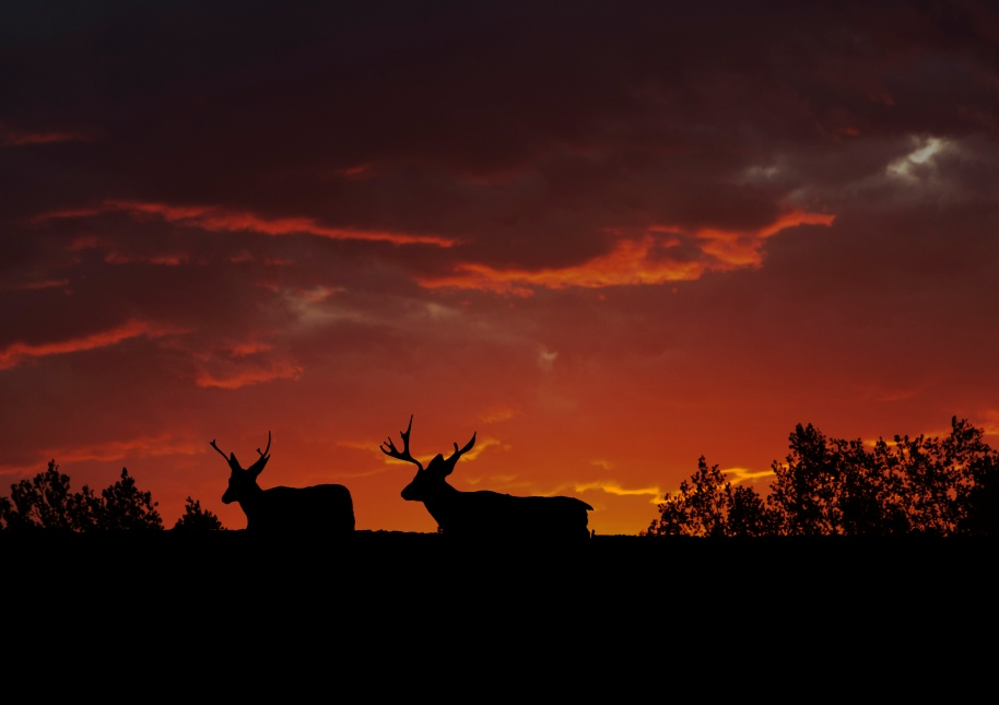 bucks at sunset