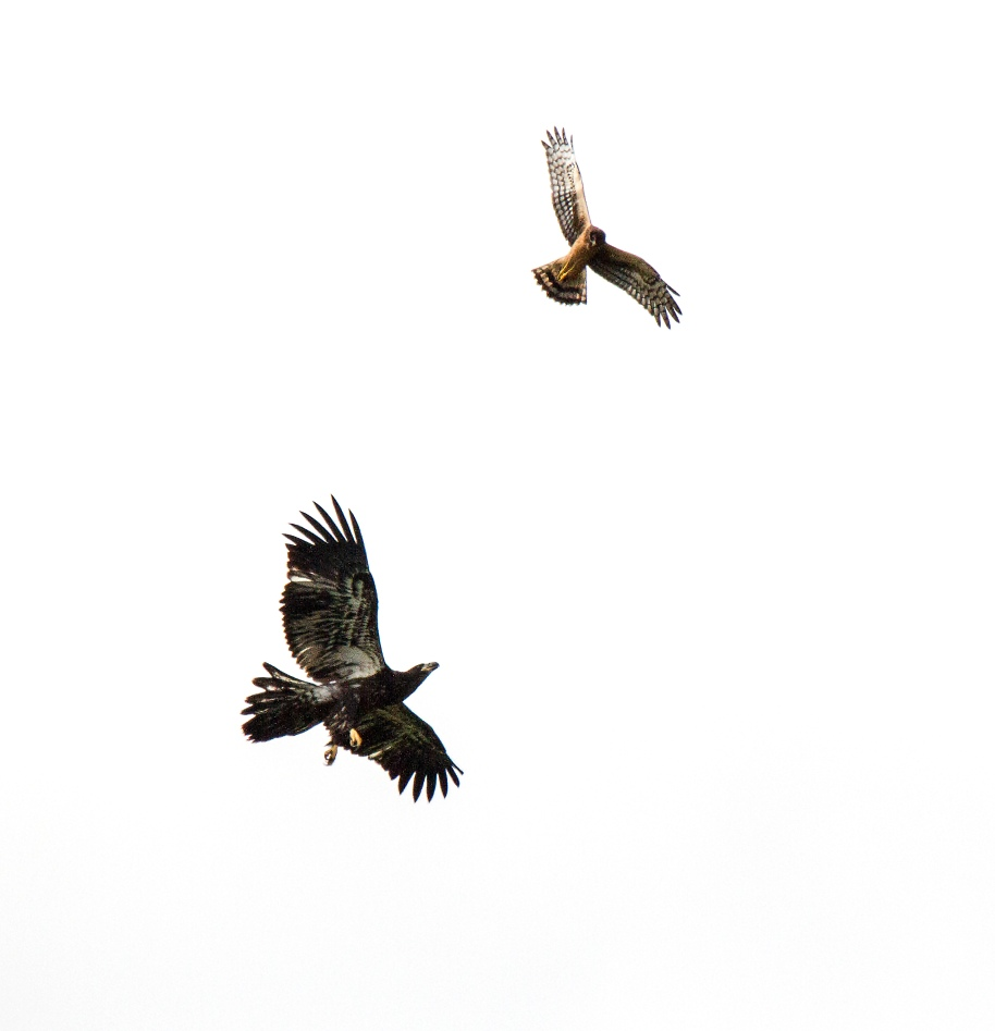 eagle and harrier