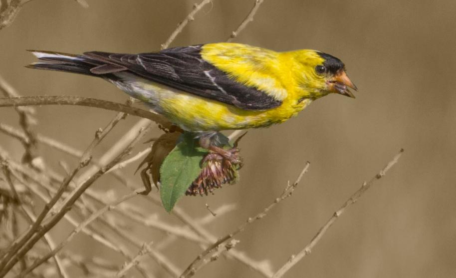 sepia goldfinch3