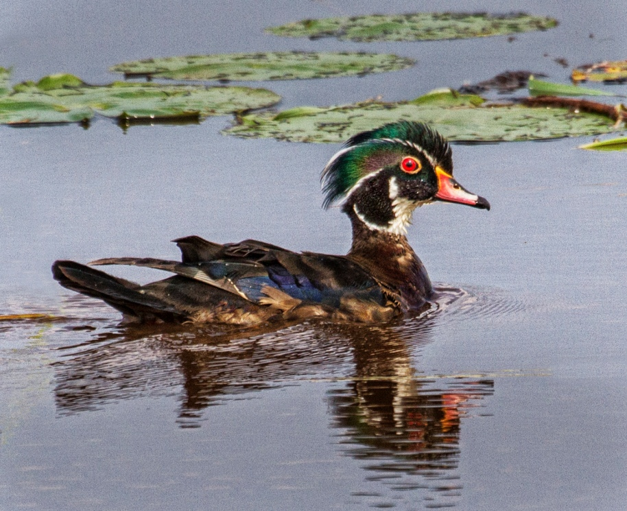summer wood duck 2