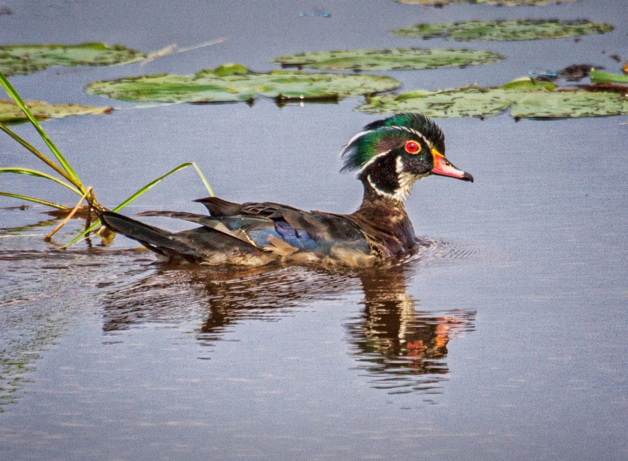 summer wood duck