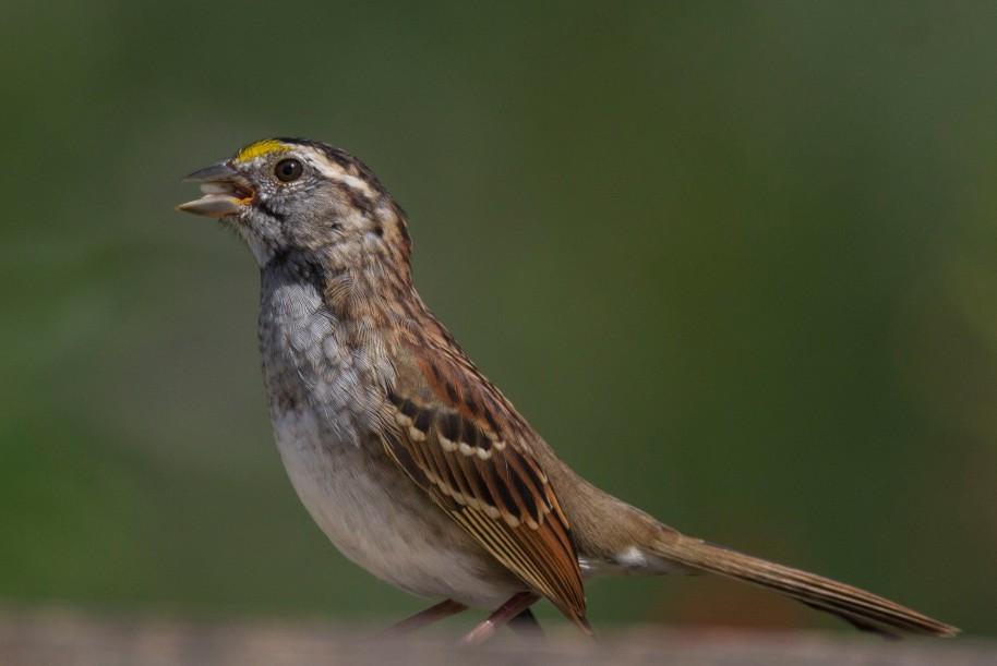 1original sparrow