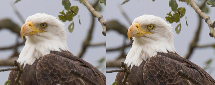 comparison eagle