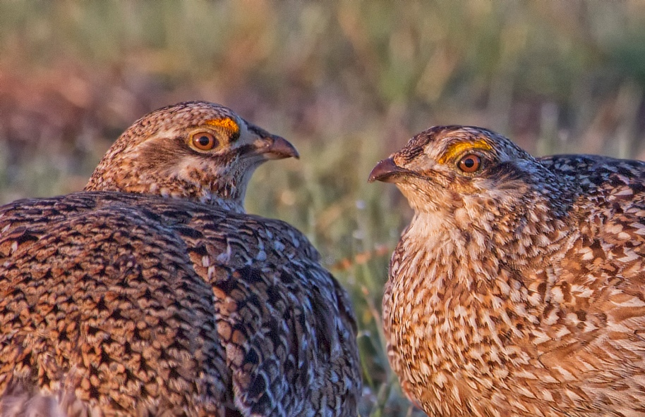 two birds grouse