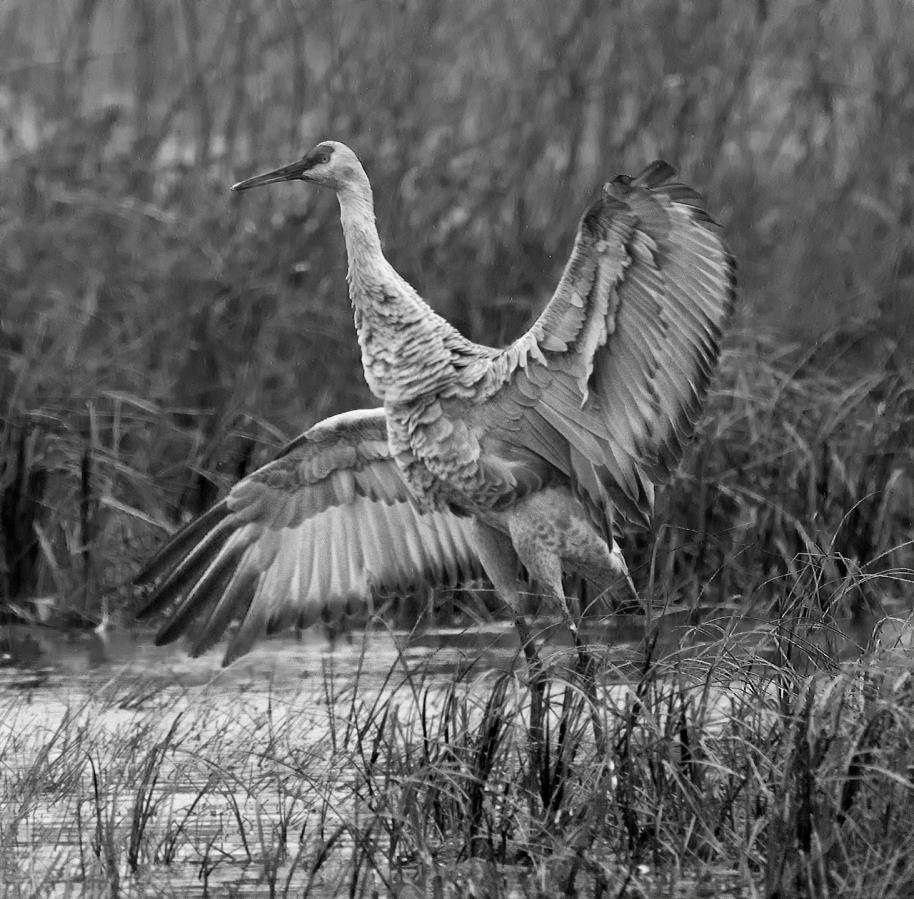 crane adultbw