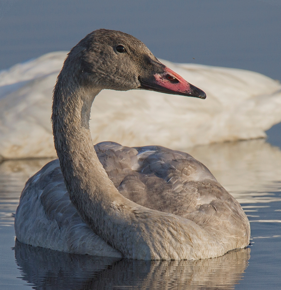 early morning cygnet
