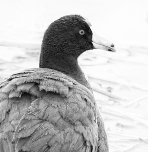 bw coot