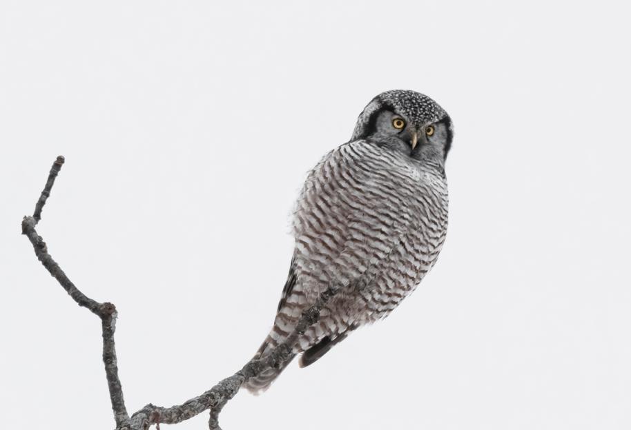 first hawk owl