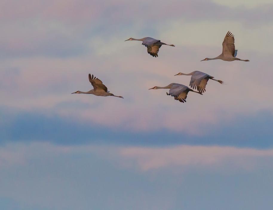 pink cranes