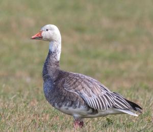 snow goose3