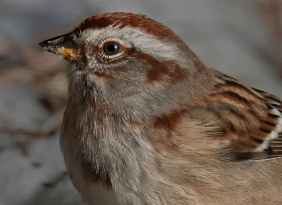detailed tree sparrow