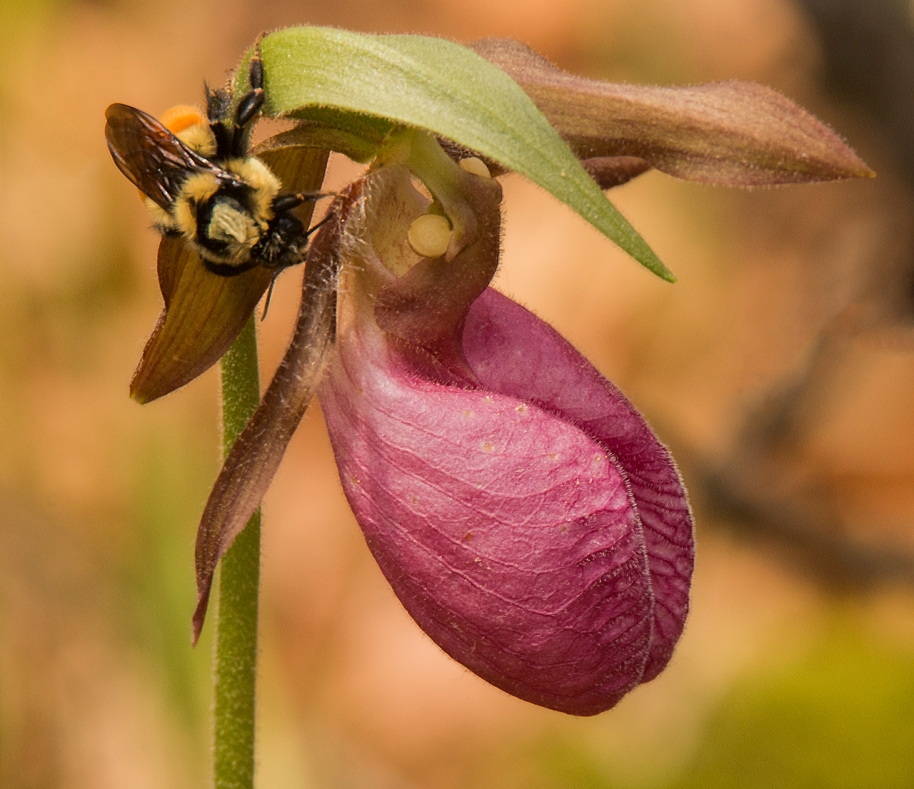 wood orchid 2