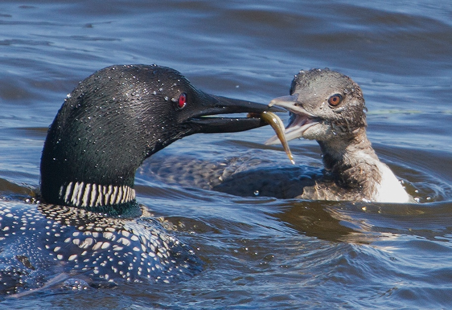 01,WC185,DN,Feeding the Youngster