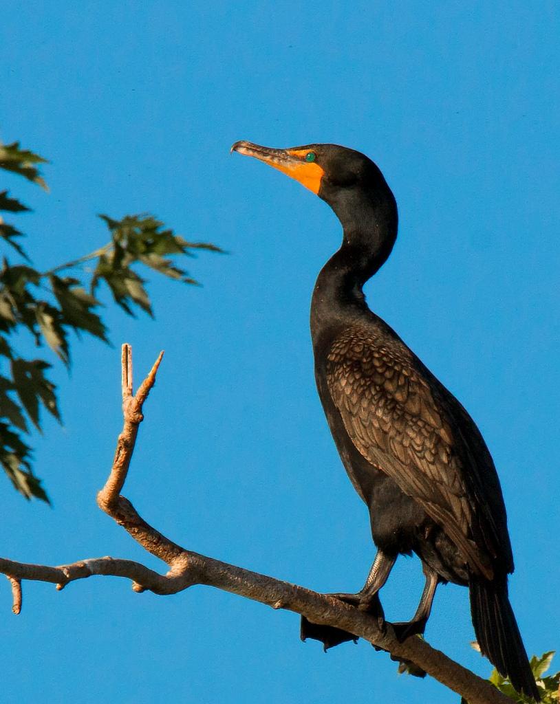 adult cormorant