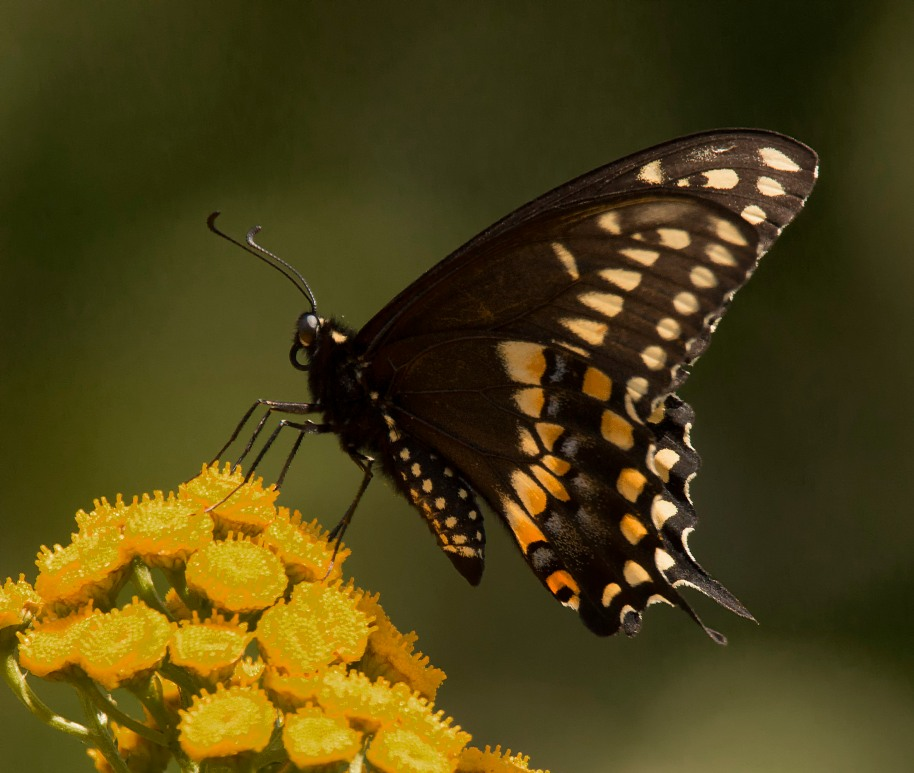 black swallowtail1