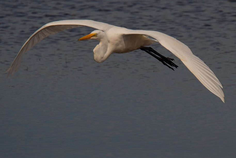 egret-flight