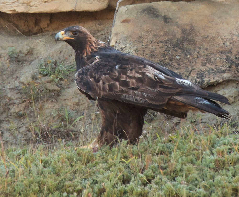 best-golden-eagle