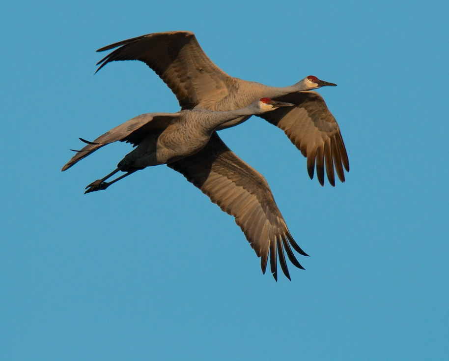 cranes-pair-on-the-move