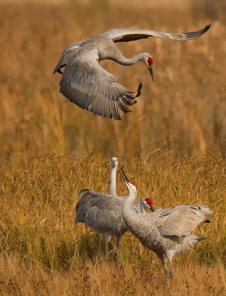 01wc185dtwisconsin-dancing-cranes