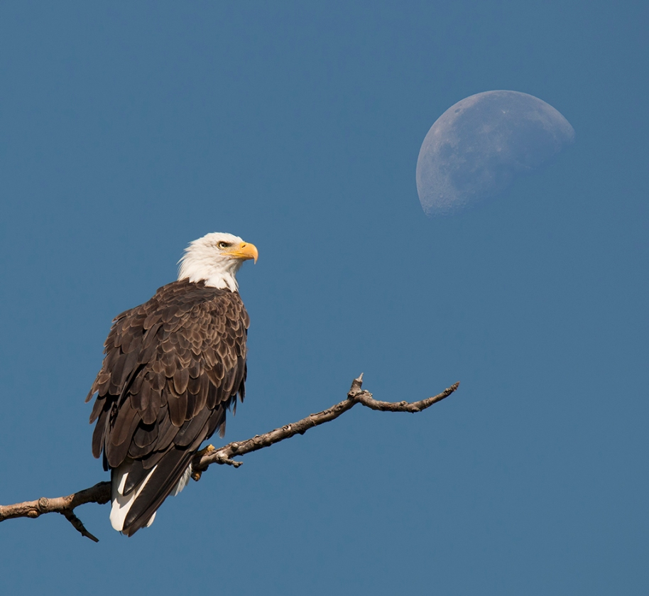 eagle-on-the-moon