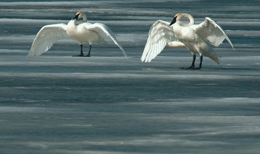 cyan-swans-on-ice