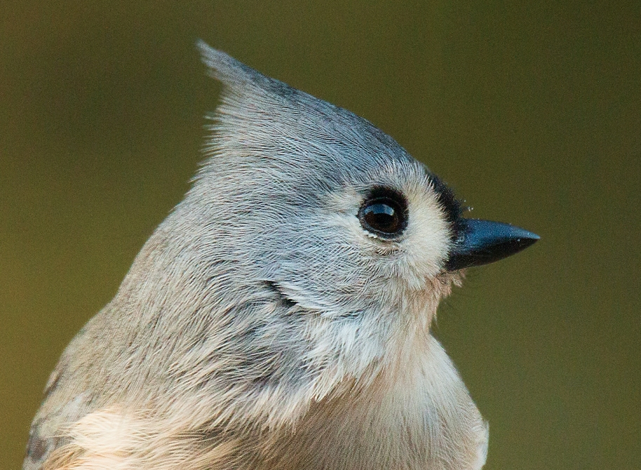 tufted-titmouse-portrail
