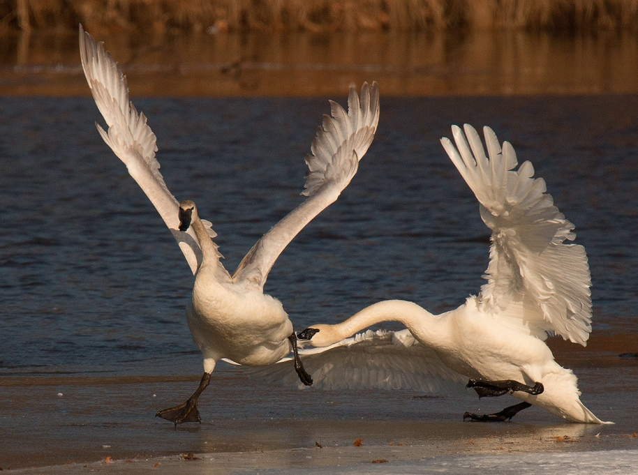 fight-swans