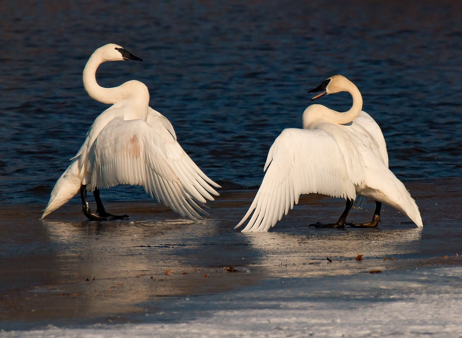swans-on-the-ice